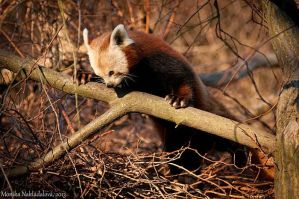 Red Panda X by amrodel