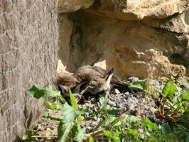 Bat eared fox by Tribolonotus
