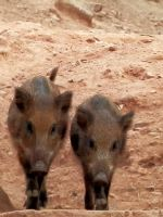 Young wild boars by gonzaleztitorenko