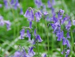 English Bluebells by Paddington-Owl