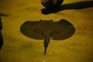 freshwater stingray 1 by meihua-stock