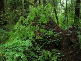 Redwood Forest 10 by Cynnalia-Stock