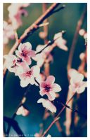 Peach Blossoms by Johdie