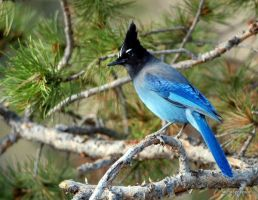 Beautiful Stellar Jay by MellsPics