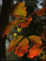 Oak leaves 20D0019009 by Cristian-M