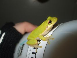 Green Tree Frog 2 by Cerestes-Stock