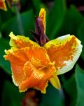 Cannas flowers by Toxicheartproduction