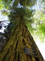 Sequoia Sempervirens by Boias