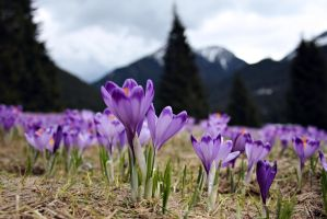 crocuses in the Tatra Mountains by magdalenova