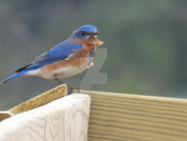 Eastern Bluebird 3 by AokitianWolf