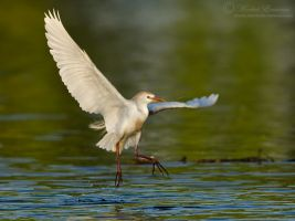 Cattle Egret by MorkelErasmus