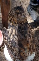 Eurasian Eagle Owl at Valhalla by SurfTiki