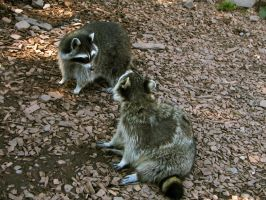 racoon 01 by Pagan-Stock
