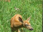 Orphaned Fawns 8 by Windthin