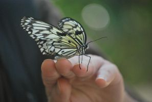 black and white butterfly 1 by meihua-stock