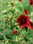 red flower from Swierklaniec by grandma-S