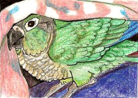 ACEO Green Cheek Conure2 by flyingfluff