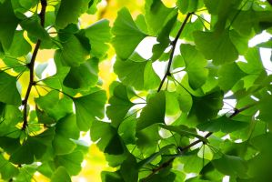 gingko tree still green by minamiko