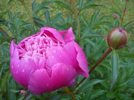 pink flower with rain by daylover1313