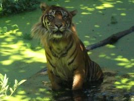 Mr Tiger and his side whiskers by Lena-Panthera