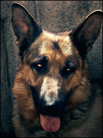 German Shepherd by MinaStrawHat