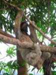 Three-Toed Sloth by Jess8478