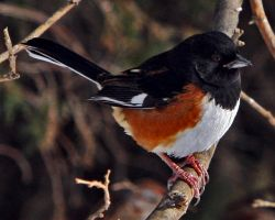 Towhee by clippercarrillo