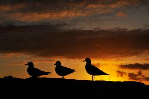 Seagull sunset - Terrigal 1 by wildplaces