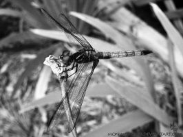 Dragonfly looking down by mon-mothma