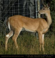 Whitetail Doe 3 by SalsolaStock