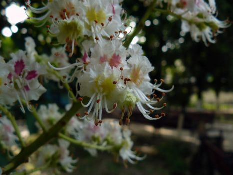 Chestnut flowers by the0cyber0angel