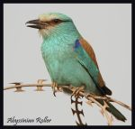 Living on the Razor's edge - Abyssinian Roller by Jamie-MacArthur
