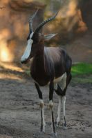 Female bontebok by DarkTara