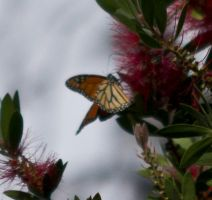 Dining on a bottle brush... by drewii57