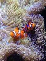 Seattle aquarium - clown fish by breannemarie