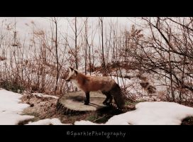 Mother Fox. by Sparkle-Photography