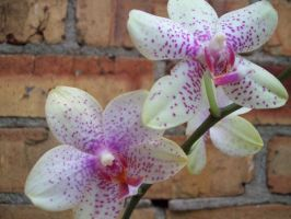 Phalaenopsis White by Applemac12