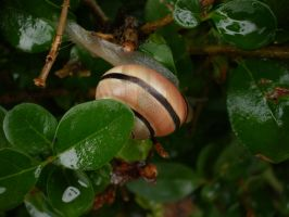 Wet Snail by Pentacle5