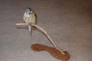 taxidermy kestrel by HippiUnicorn