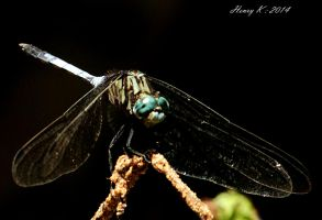 Face-to-face-with-a-dragonfly by fotoponono