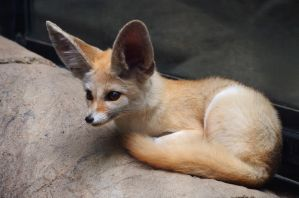 Fennec Fox by ShutterSerpent