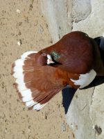 Stock 316: brown pigeon by AlzirrSwanheartStock