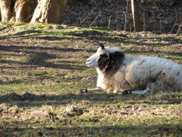Jacob Sheep 2 by mrscats