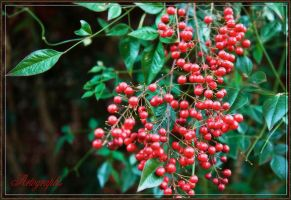 NANDINA by Artographs