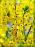Yellow Spring 2 by Aivaseda