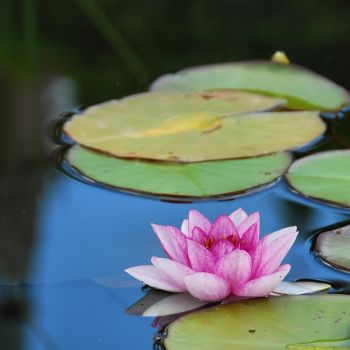 waterlily by Wilithin