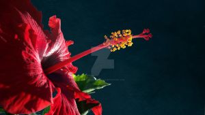 Red Hibiscus_5 by ReflectionsByCheryl