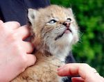 The Baby Lynx by moggies