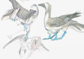 Bluefooted Booby by Viant-T