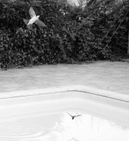 Swallows diving on pool by MikeyHramiak